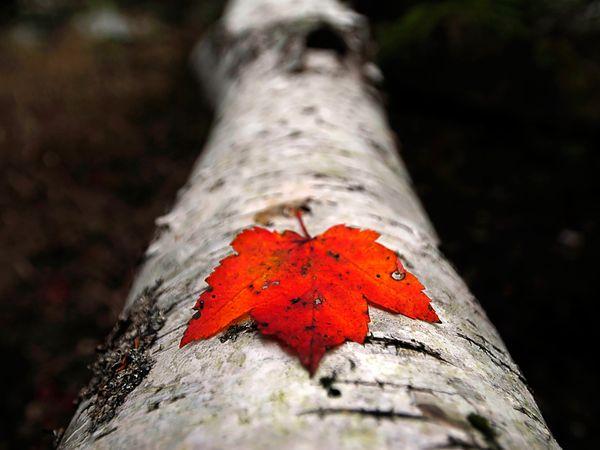 red-leaf-touzon